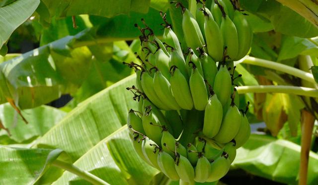 Un maridaje con plátano Canario 100% adictivo