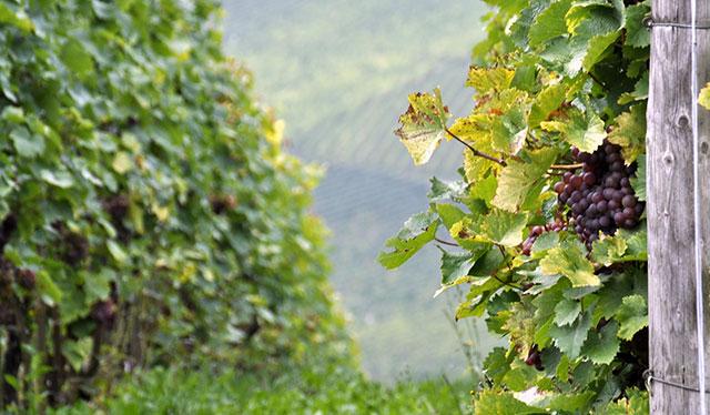 Las añadas del vino